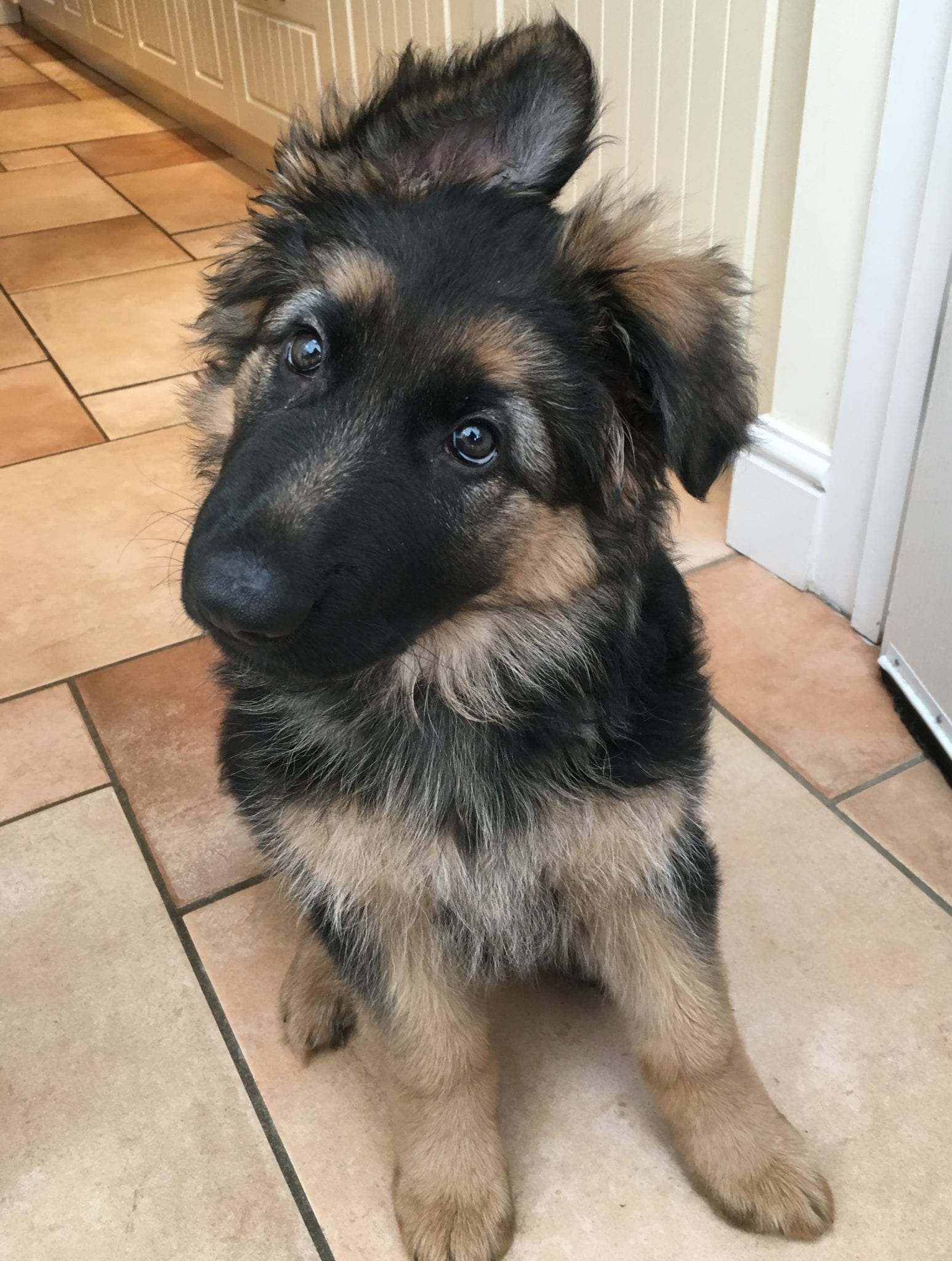 10 week old German Shepherd Puppy 'Freyja'