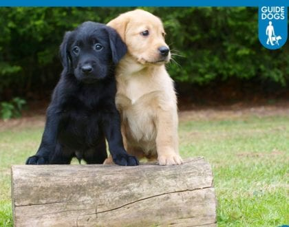 Puppy Walkers Urgently Needed
